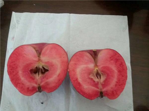 红富士苹果苗价格/60公分高红富士苹果苗