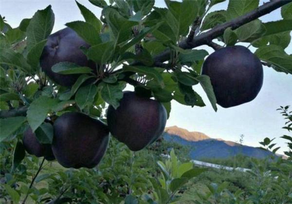 柱壮苹果苗那里卖的便宜0.8公分粗柱壮苹果苗