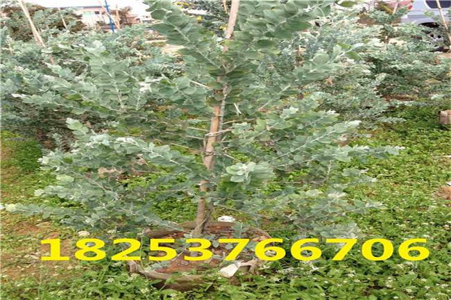 梅州市胡枝子种子出芽率