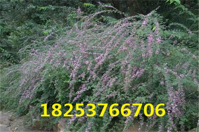 镇江市荆条种子多少钱一斤