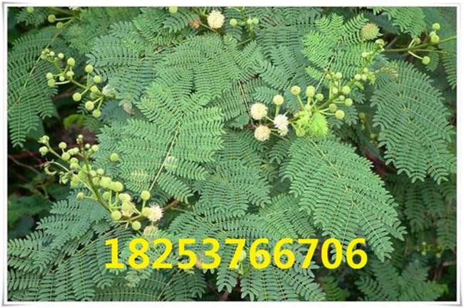 贺州紫穗槐种子、紫穗槐种子大量供应