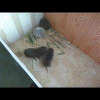樟树市竹鼠养殖基地、竹鼠肉配送