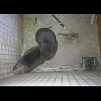 大安区原生态竹鼠饲养基地、鼠苗配送