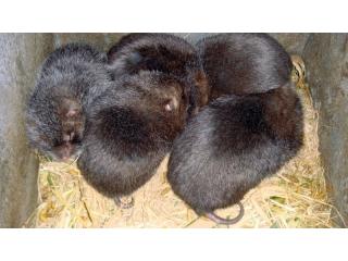鹿城区竹鼠养殖公司、竹鼠养殖合作社