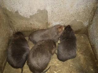 广宁县竹鼠养殖技术、竹鼠养殖