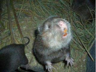 吉安市竹鼠哪家买