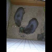 宝兴县原生态竹鼠饲养基地、鼠苗配送