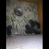 安化县竹鼠养殖、竹鼠技术分享