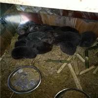 谢家集区竹鼠养殖公司、竹鼠养殖合作社