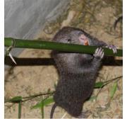 宿州市原生态竹鼠饲养基地、鼠苗配送