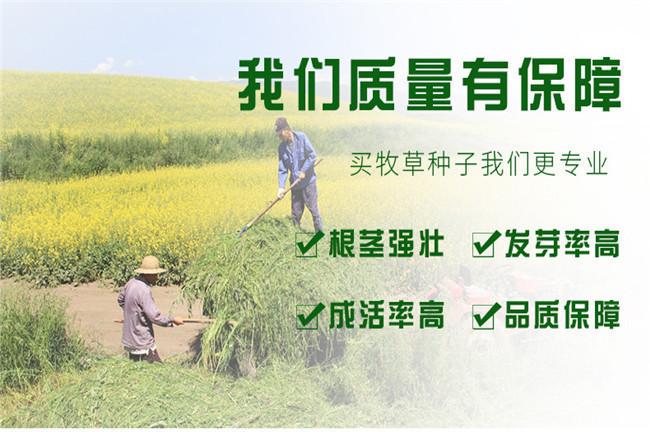四川大量批发红、白三叶种子红、白三叶种子报价