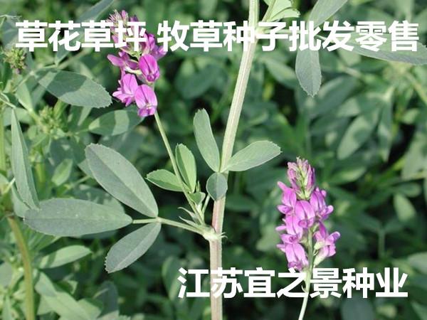 新余市紫云英�N子多少�X一斤