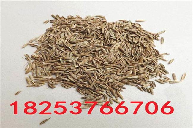 臨安冬牧70黑麥草種子、冬牧70黑麥草種子哪里有賣的