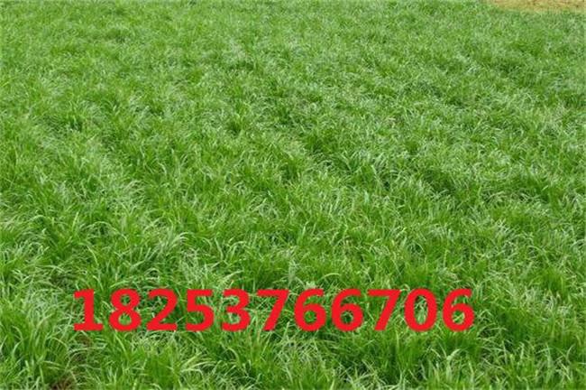 邓州苇状羊茅种子、苇状羊茅种子哪里有卖的