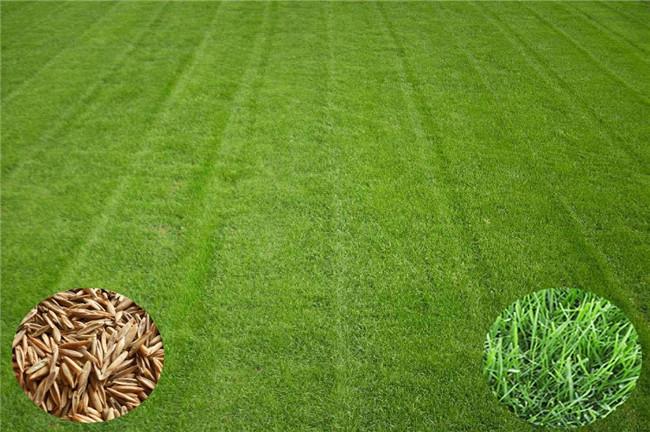 锡山护坡型黑麦草种子、黑麦草种子大量供应