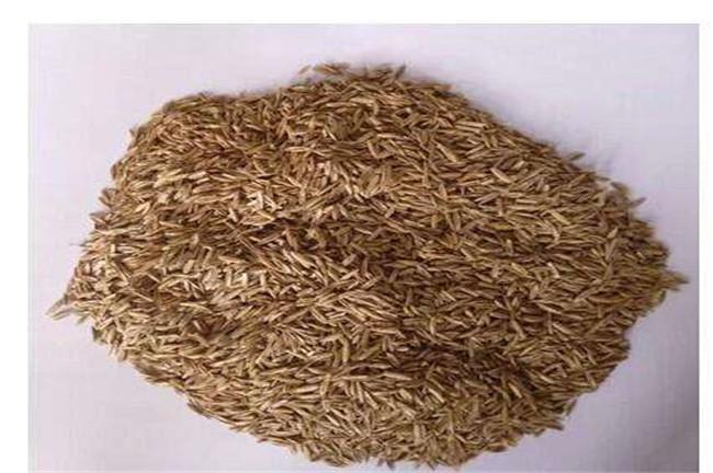 黑龙江草坪型高羊茅种子、高羊茅种子哪里有卖的