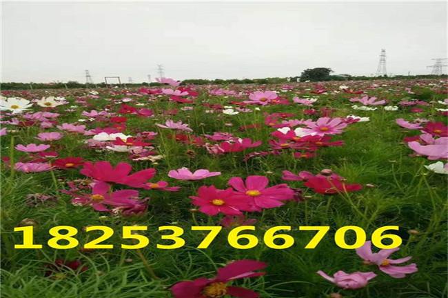 秀山县菊种子哪里有卖的