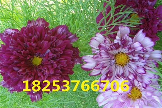 许昌马莲花种子、马莲花种子哪里有卖的