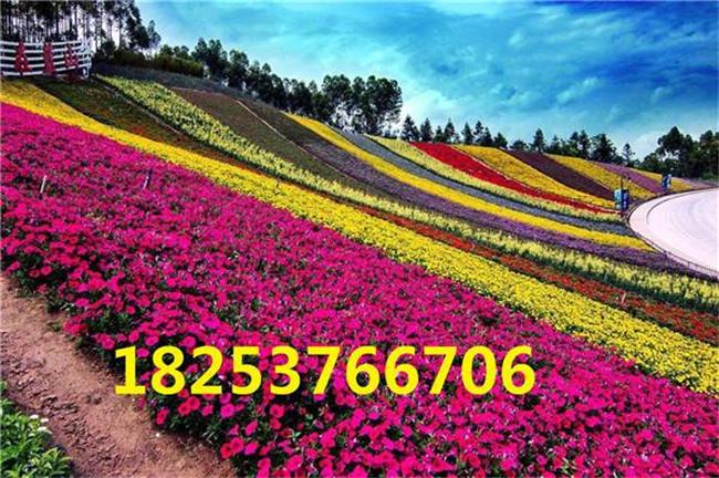 平湖百日草種子、百日草開花哪里有賣的