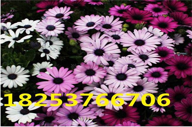普兰店马莲花种子、马莲花种子批发销售