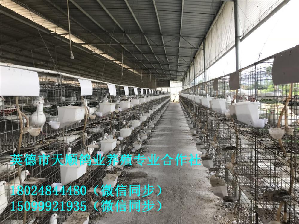 新鲜鸽子肉鸽农家散养土鸽活体生鲜 现杀鲜嫩乳鸽 批发零售