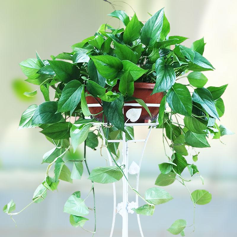 武汉大型丛竹团体活动鱼尾葵短期租赁,好看的花卉盆栽散尾葵