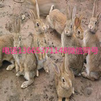 野麻兔�r格野麻兔多少�X一只