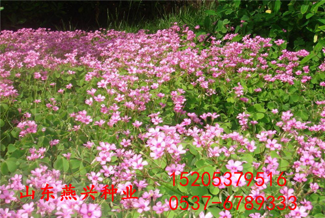 江苏无锡河堤护坡草籽什么时候播种