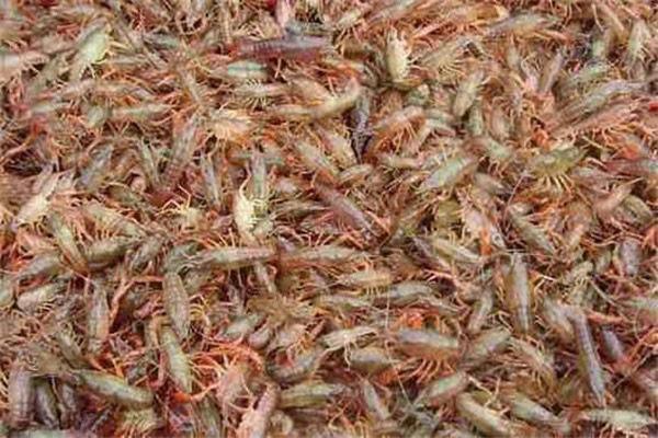 上海小龙虾小龙虾加盟多少钱龙虾怎么养