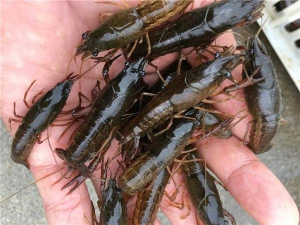 陕西小龙虾龙虾苗的养殖养虾用什么水