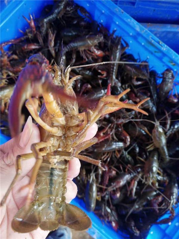 陕西小龙虾大棚养虾技术那里有虾苗