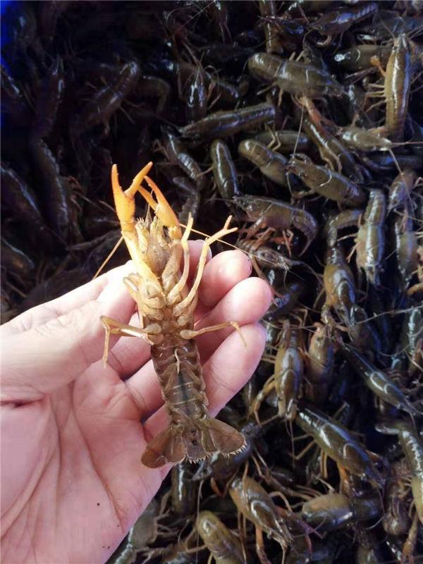广西小龙虾养殖龙虾的方法小龙虾多少钱