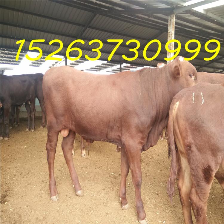 育肥肉牛犊 小牛犊苗怎样选购 鲁西黄牛长势快 肉牛犊价格