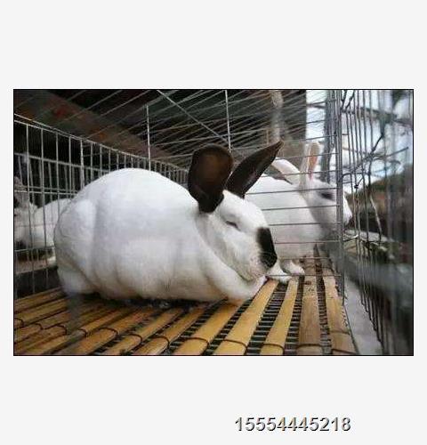 大渡口区肉兔养殖利润 -鑫鑫种兔