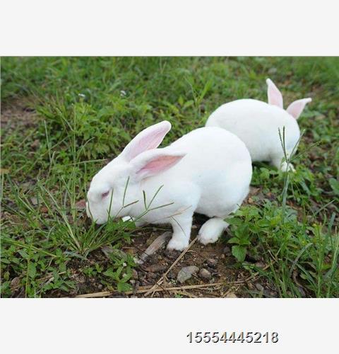 大足区养兔的利润-鑫鑫种兔