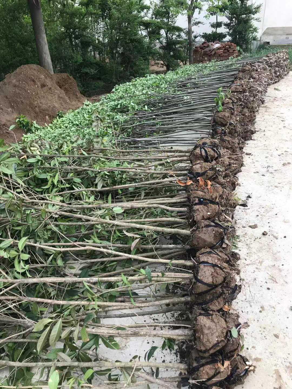 河南肥西农户直销2公分3公分淡竹子农户直销