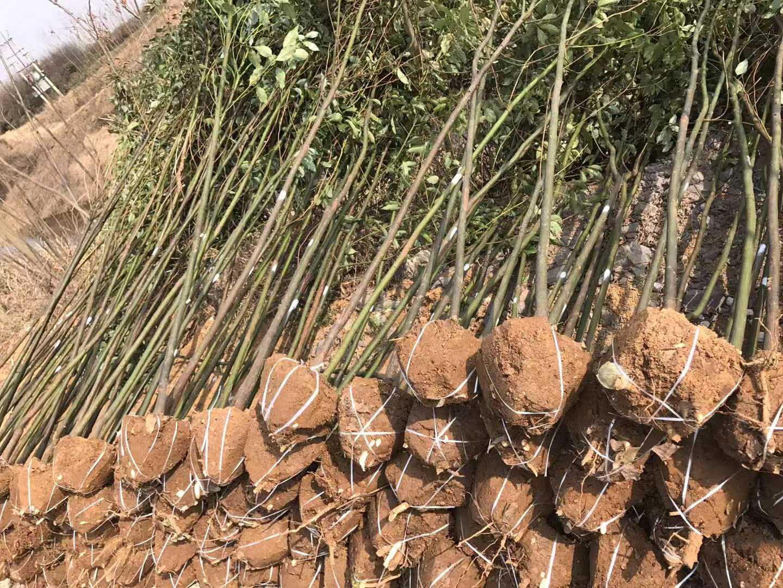 河南批发绿化苗木4公分箬竹3分青钢竹子