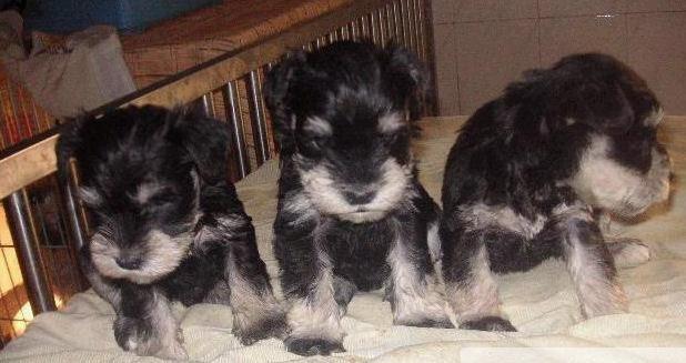 昆明哪里本地养狗场出售纯种雪纳瑞犬 昆明哪里能买到纯种的雪纳瑞犬 多少钱