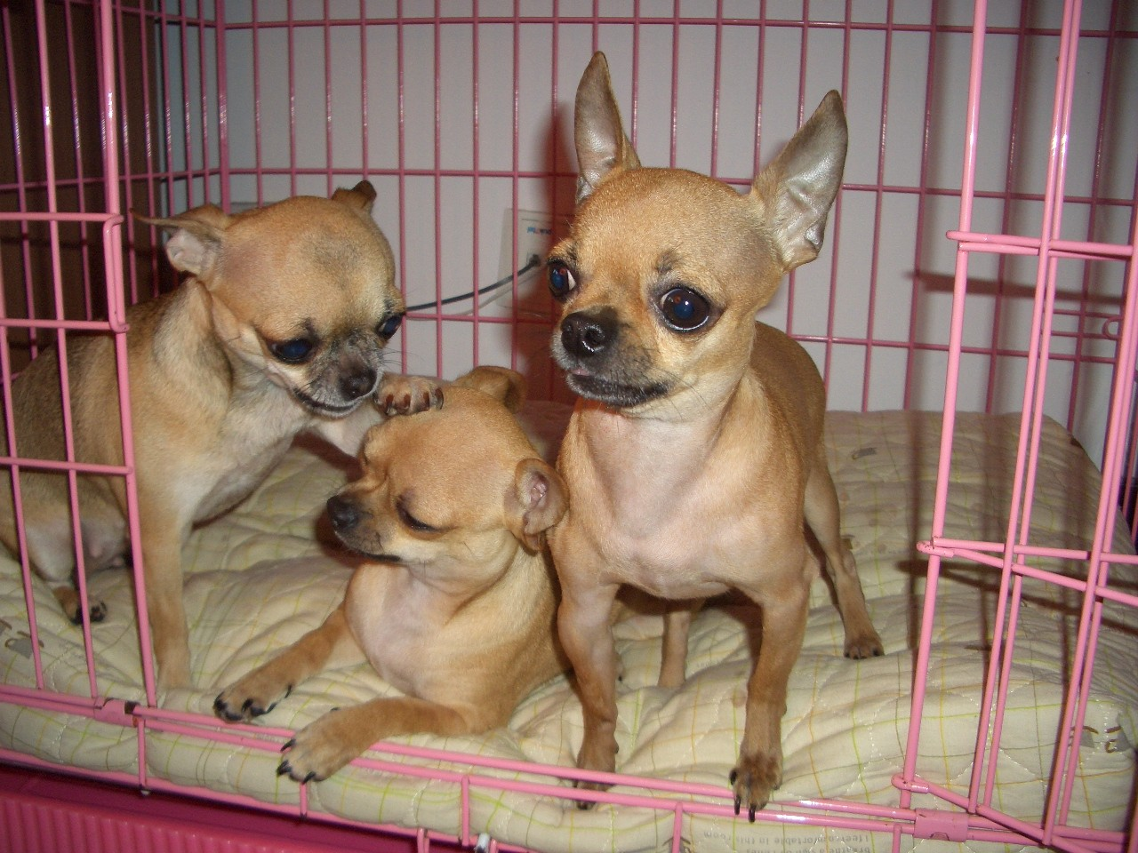 云南本地养狗场 养犬场 宠物犬基地 狗狗基地 大型正规犬舍出售纯种吉娃娃犬
