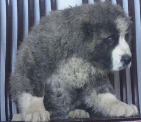 云南地区哪里能买到纯种中亚牧羊犬 云南哪里卖纯种中亚牧羊犬 中亚牧羊犬价格