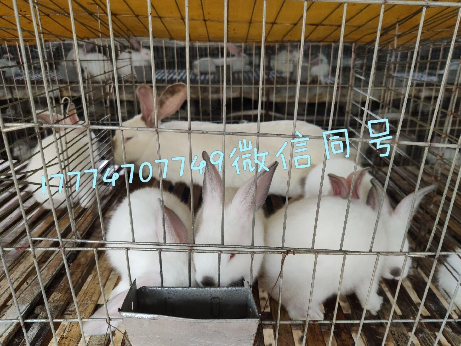 柳州肉兔养殖场优质公母兔出售欢迎到场考察