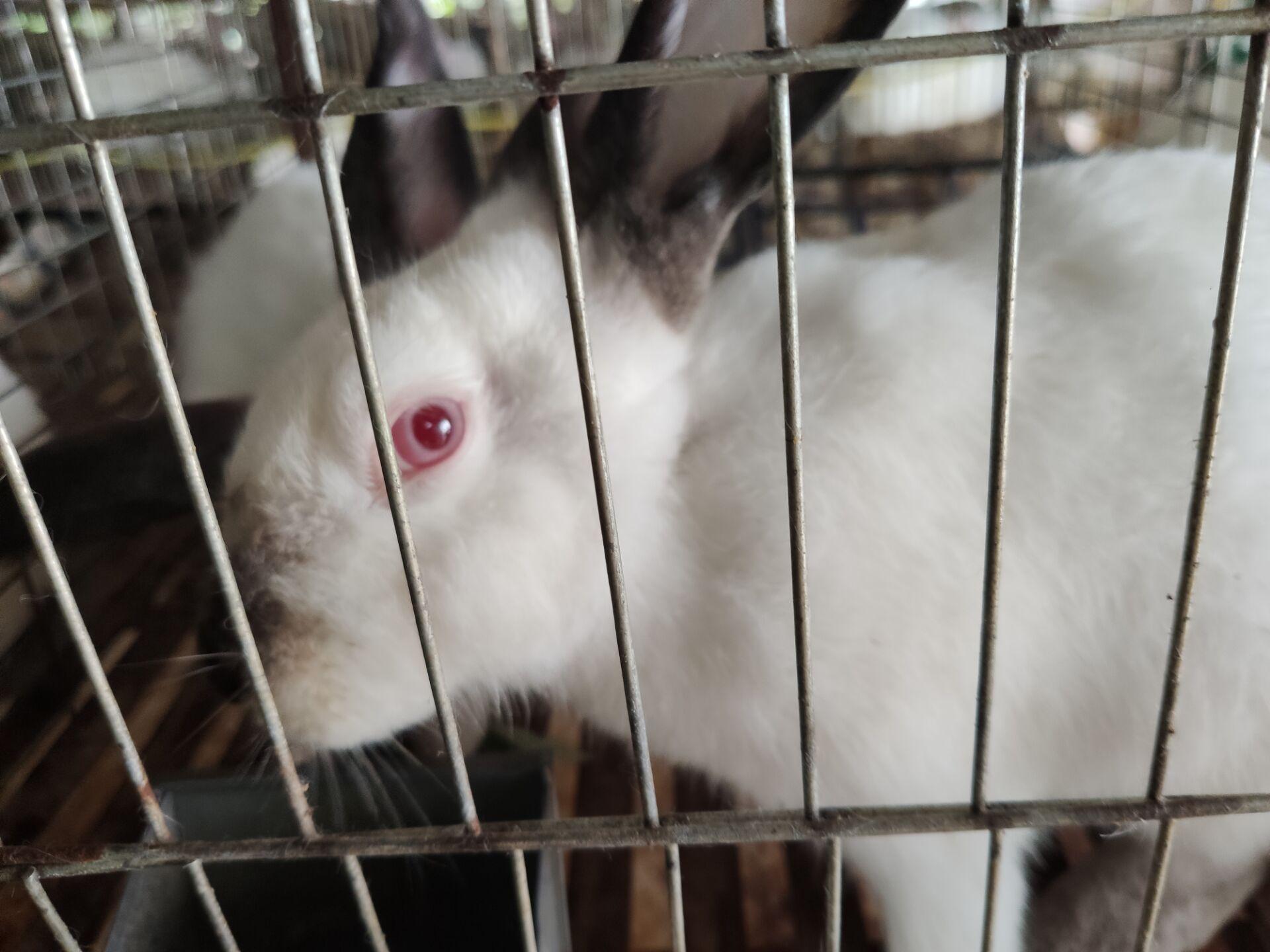 桂林大型肉兔养殖场出售优质公母兔教养殖技术包回收