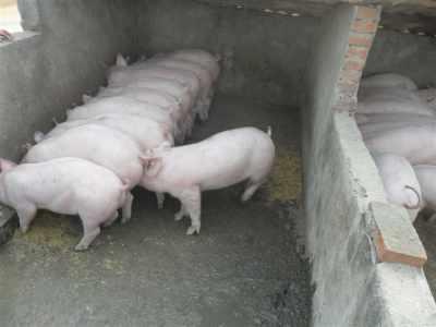 迪庆纯种苏太母猪行情