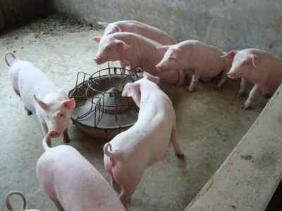 沧州肥猪价格行情预测