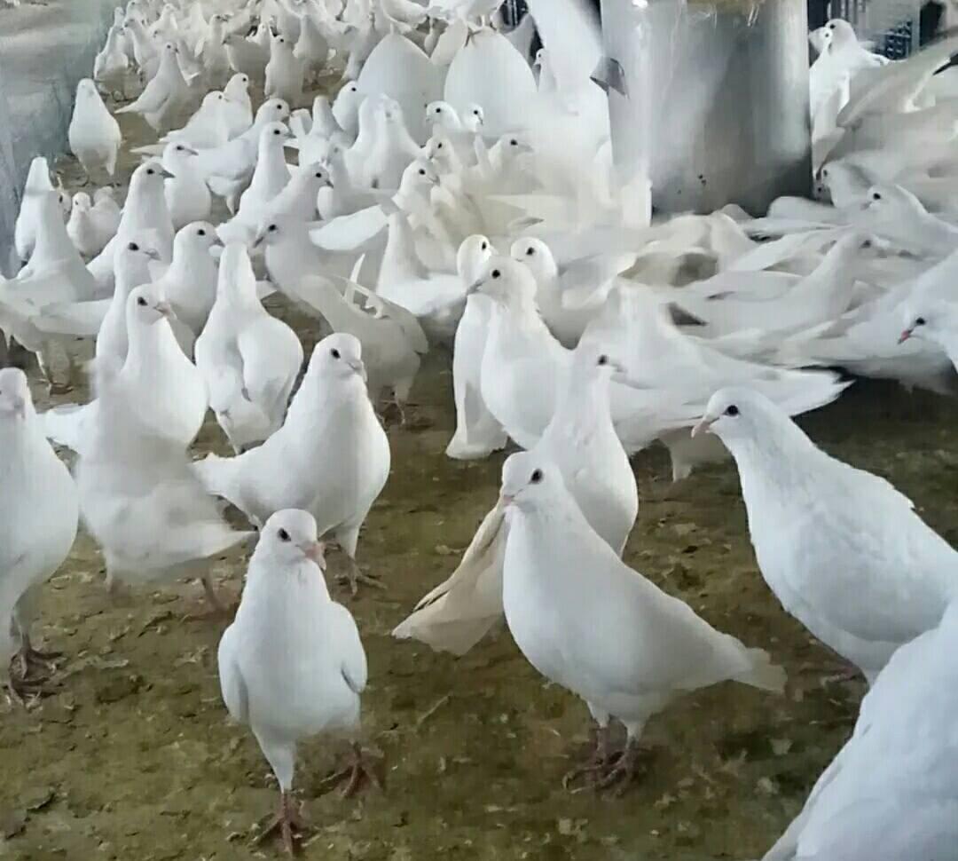 金恒庄园乳鸽 鸽子 肉鸽 鸽蛋