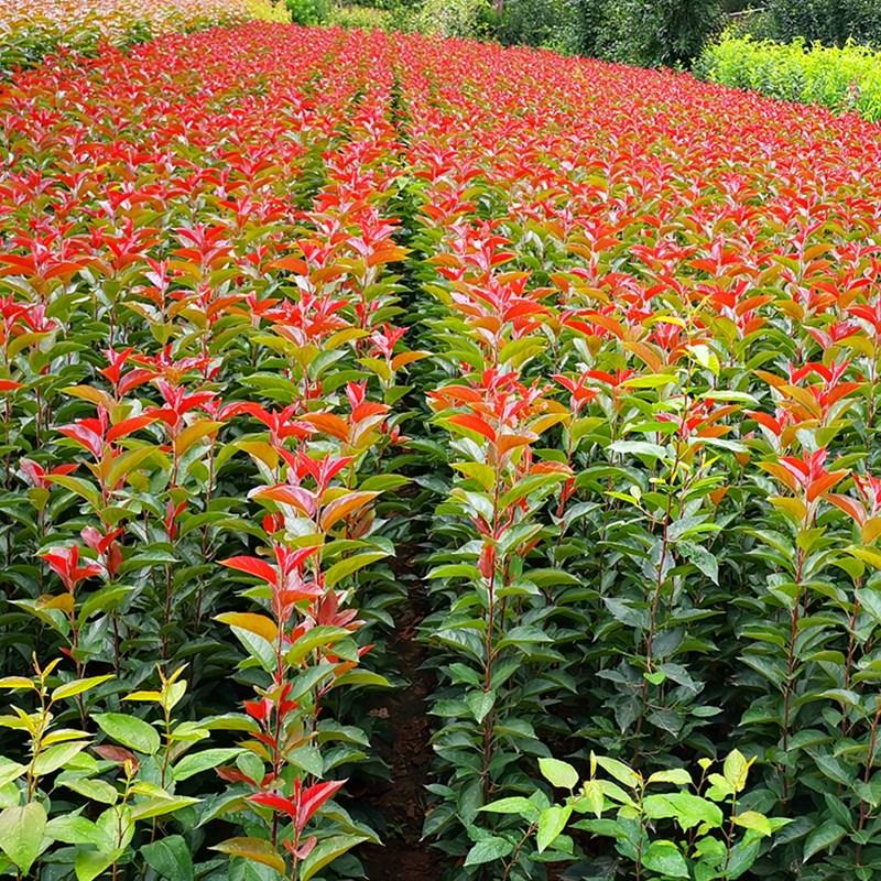 山东辰枫园林_绚丽海棠当年苗价格0.7cm以上绚丽海棠树苗