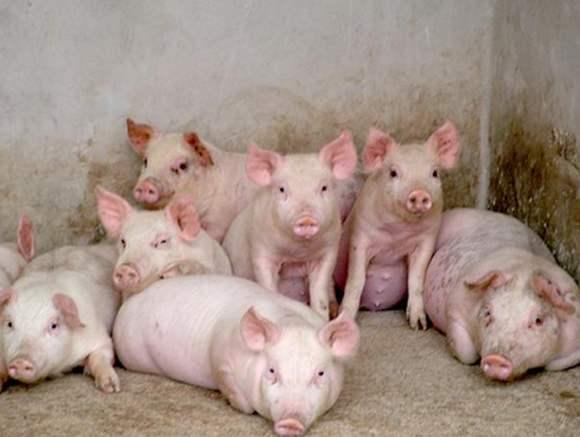 2022年南昌仔猪价格预测