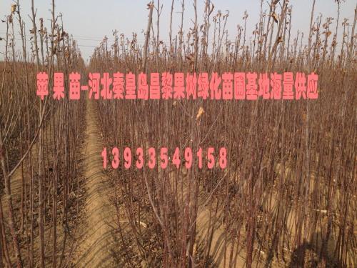 河北苹果苗,河北富士苹果苗,河北苹果树苗价格