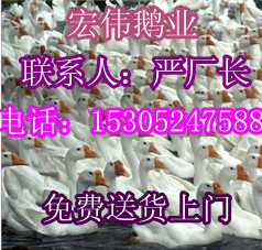 上海鹅苗价格求购