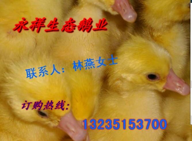 回收出售各种品种鹅苗 鸭苗